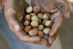 Hazelnut blight opportunity for Ontario-Image1