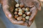 Hazelnut blight opportunity for Ontario-Image1