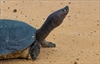 Cambodian Royal Turtle nearly extinct  -  less than 10 in wild-Image1