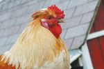 Clucking controversy