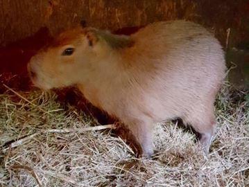 Second capybara found