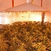 Police bust million-dollar marijuana grow-op in Niagara Falls