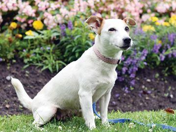 Adopt-A-Pet: Elle is a fun loving Jack Russel Terrier.