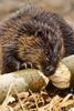 Beavers are busy preparing for winter
