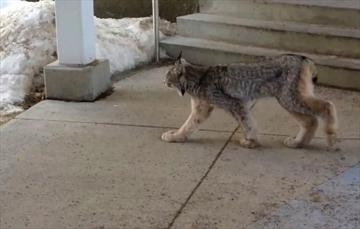 Terrace Bay lynx