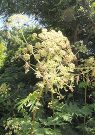 Giant Hogweed is a dangerous invasive species