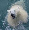 Polar bears return