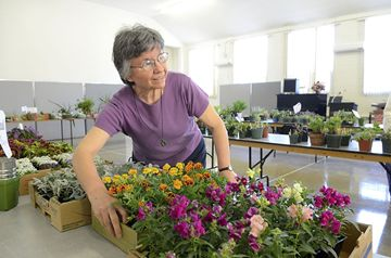 Janet Love organizes a table during the North York Garden Club's annual plant sale held Saturday morning at Willowdale Presbyterian Church. (May 4, 2013)