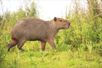 Capybara spotted