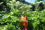 Giant hogweed continues to sprout in Milton