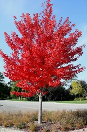 The city of St. Catharines is holding its annual rain barrel sale and free tree giveaway on June 1. Residents can pick up one of four tree varieties, like this Freeman maple, at the Seymour-Hannah Sports and Entertainment Centre between 7:30 a.m. and 1 p.m.
