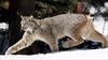Feds begin review of Canada lynx-Image1