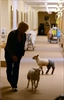 VIDEO: Lambs spread joy at St Joseph's Villa