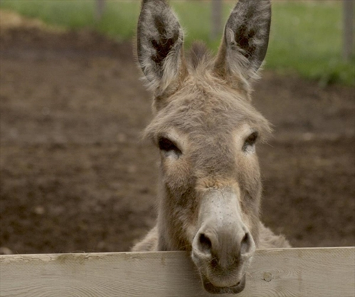 Donkey Put Down By Officer After Collision In Norfolk