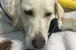 Dog injured by gunshot recovering at Alliston shelter