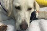 Dog injured by gunshot recovering at Alliston shelter