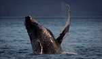 Pipeline panel didn't consider whales: lawyer-Image1