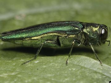 Emerald Ash Borer in Terra Cotta