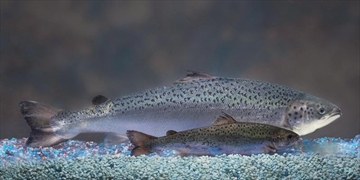 Regulator accepts genetically modified salmon-Image1
