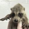 Baby raccoon from Oakville