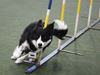 Ajax's Linda Saab and her dog JohnnyCash off to world agility championships