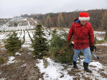 CLARINGTON -- George Powell, owner of Powell's Christmas Trees, has been selling trees since 1980. The business has a variety of tree options including ready to go trees for those who don't want to cut down their own. December 2, 2013.