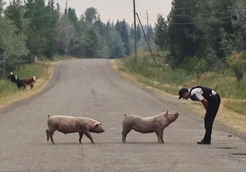 A RCMP police officer is shown with two pigs in this recent handout photo. Thousands of people have been displaced by wildfires in British Columbia, but the flames have also forced livestock left behind to flee beyond enclosures. RCMP Cpl. Janelle Shoihet says officers are patrolling communities and helping to guide livestock back to where they belong whenever possible. THE CANADIAN PRESS/HO-B.C. RCMP, *MANDATORY CREDIT*