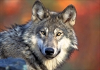 Great Lakes wolves ordered returned to endangered list-Image1