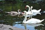 OUR NIAGARA: Swan Song