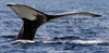 US proposes taking humpbacks whales off endangered list-Image1