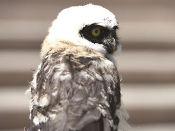 Owl-bert, a spectacled owl, at the Toronto Zoo