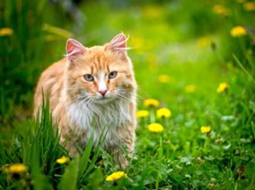Outdoor cats are at risk for deadly viruses