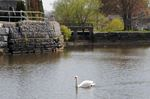 A one-summer hiatus for St. Marys swans