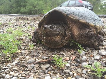 Snapping turtle in gravel