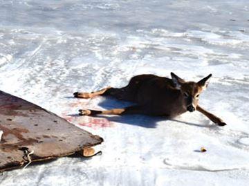 Deer in distress