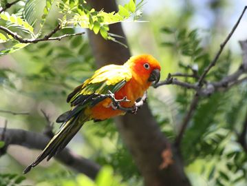 Missing sun conure reunited with owner in Burlington