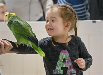 Amelia Kelly, 3, of Waterford, lets a yellow-headed Amazon parrot perch on her arm with help from the staff of Hands On Exotics during Kids-Fest at the Canadian Warplane Heritage Museum Saturday.