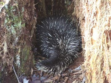 De Boer's treasures: Porcupine
