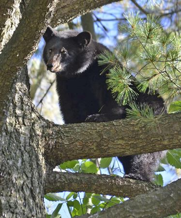 Bear sightings in Parry Sound