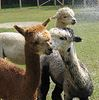 Visit alpacas at Lisle Farm