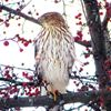 Christmas bird count taking place Saturday in Midland area