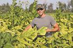 Tobacco harvest