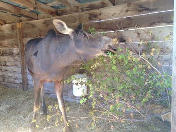 Orphaned moose calves thriving at Aspen Valley
