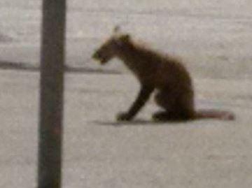 Fox at Millwood Junior School