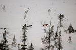 Moose carcass scavenging
