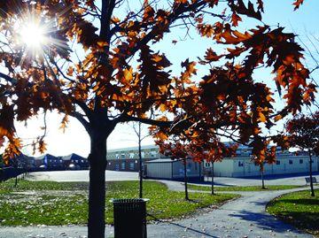 Vaughan oak trees