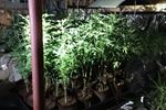Domestic disturbance call leads to seizure of 1,500 marijuana plants in Oakville