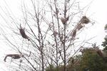 FALL WEBWORM TREE