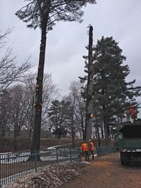 Tree removal that began last fall, continued along William Street in Parry Sound Monday. The trees were removed due to safety concerns, said Peter Brown town director public works. Branches have falling breaking the fence and damaging monuments in Hillcrest Cemetery.