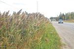 Invasive plants taking over roadsides